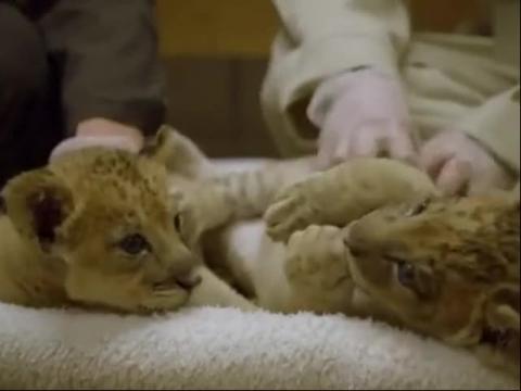 小狮子也能这么萌 实拍狮子宝宝卖萌[高清版]
