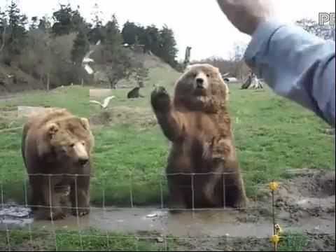 熊熊们打招呼 搞笑的动物