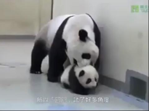 """小熊猫乱跑 结果被拉回""""床""""上.太可爱了"""