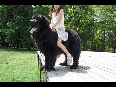 世界上最大的狗藏獒_为什么藏獒是世界上最凶猛的狗?-余下全文>_感人网
