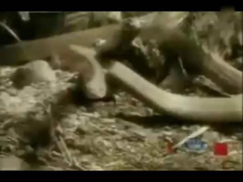 动物世界之 眼镜王蛇吞噬剧毒林蛇