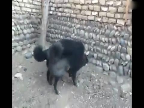 [藏獒打架视频]比狮子老虎还凶